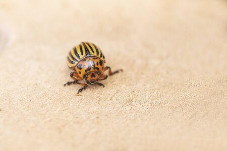 Bichos de papa en el follaje de la papa en la naturaleza, fondo natural, vista cercana. El escarabajo de Colorado come una papa deja joven.