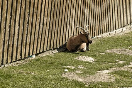 A goat lies near a wooden fence on green grass. Pets. Stock Photo