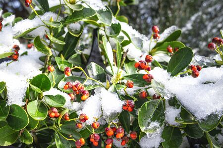 Closeup of holly bush branch with green leaves and bright red berries, snow. beautiful red berries .Red frozen berries on the bushes