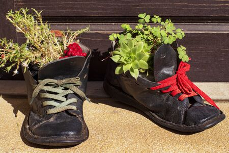 Plants growing in tattered shoe.Old leather shoes as flowerpots.