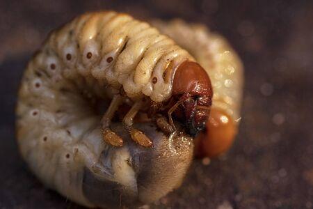 Larves de coléoptères mai.Larves de gros plan de bousier.