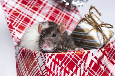 The symbol of 2020 is a rat, New Year's decor elements. A gray rat with white spots is sitting in a box with New Year's gifts.Year of the rat. Stock Photo