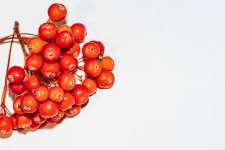 Autumn background. Copy space.Ripe rowan berries on a white background, autumn concept. Rowan brushes.