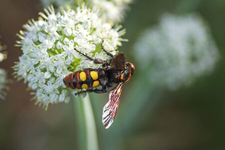 Scola lat. Megascolia maculata lat. Scolia maculata is a species of large wasps from the family of scaly .Megascolia maculata. The mammoth wasp. Scola giant wasp on a onion flower. Banque d'images