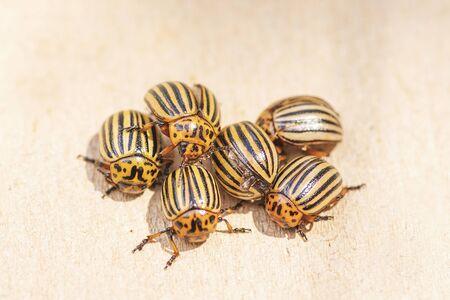 Many Colorado potato beetle.Potato bugs on foliage of potato in nature, natural background, close view.Colorado beetle eats a potato leaves young.Colorado potato beetle on a light background. Banque d'images