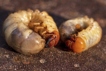 Ground parasites, beetle larva.Two larvae of a dung beetle close-up. Larvae of a ground beetle.