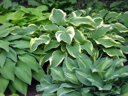 緑ギボウシの斑入り植物