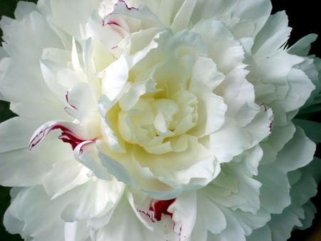 Close-up of a white and pink variegated peony blossom