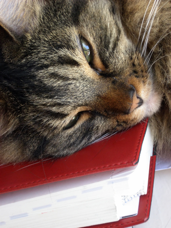 catnap: Tawny tiger-stripe cat napping on a book