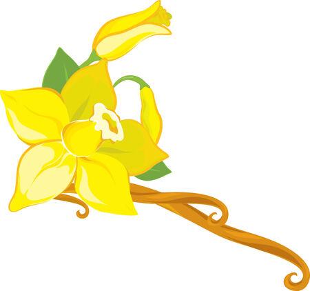 flor de vainilla: Flor de vainilla