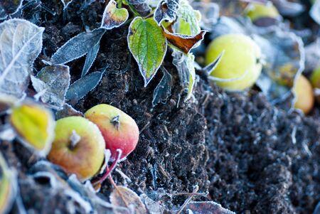 Fallen autumn apples on frozen dirt photo