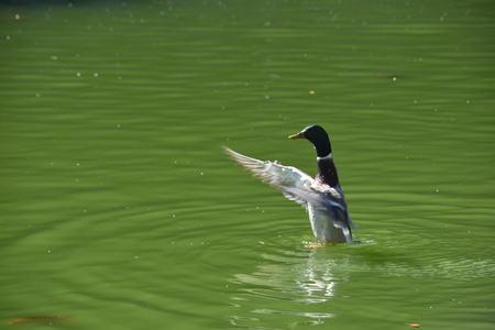 Mallard Duck waves at passerby