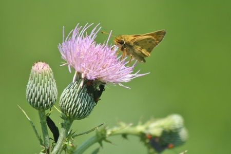 branded: A common branded skipper sips nectar from a thistle flower in the Moccasin Island Tract, Melbourne, Florida