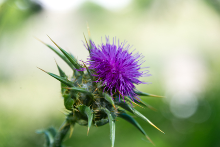 thistle in sierra nevada, andalusia, spain