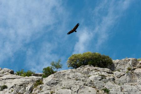 vliegende gier op bergketen in Sierra de Grazalema, andalusië, Spanje