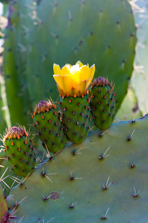 blooms of cactus pear in rif region, morocco