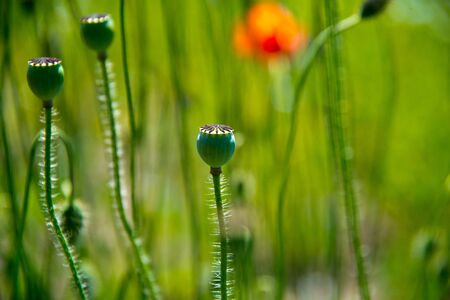 poppy flowers and seedbuds on meadow  in germany