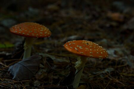 fly agaric (toadstool) waiting for mushroom pickers in brandenburg forest, near berlin, germany