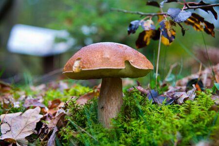big wild bay boletus waiting for mushroom pickers in autumnal brandenburg forest, germany