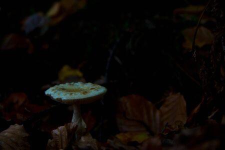 parasol mushrooms (Macrolepiota procera) waiting for mushroom pickers in autumnal brandenburg forest, germany Zdjęcie Seryjne
