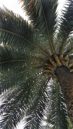 tropical tree texture and pattern. large palm trees use decorated in the park Stock Photo