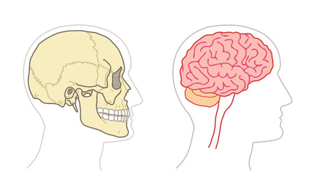 Human Anatomy drawings - BRAIN and SKULL side views