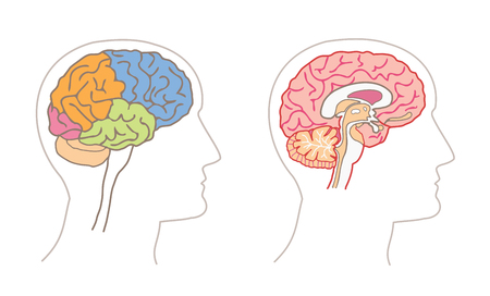 Human Anatomy drawings - BRAIN Lobes and Sagittal section Illustration