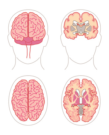Human Anatomy drawings - BRAIN front and top views or sections