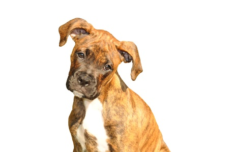brindle: Image of a boxer puppy isolated on a white background. Stock Photo