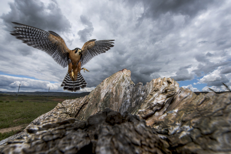 Peregrine falcon landing on a rock with outstretched wings