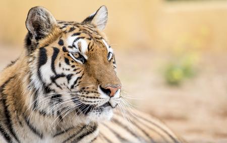 Beautiful Bengal tiger, looking intently at camera