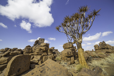 dichotoma: The quiver tree, or aloe dichotoma, or Kokerboom, one of the most interesting and characteristic plants of the Giants Playground in Namibia Stock Photo