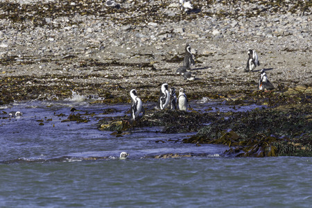 jackass: Jackass penguins on Halifax Island, in front of Diaz Point, near Lderitz, Namibia