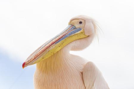 Pelican in Halifax Island, near Cape Diaz,  Luderitz, Namibia Stock Photo