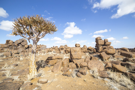 dichotoma: The quiver tree, Aloe dichotoma or, in the Giants Playground, a bizarre natural rock garden near Keetmashoop, Namibia