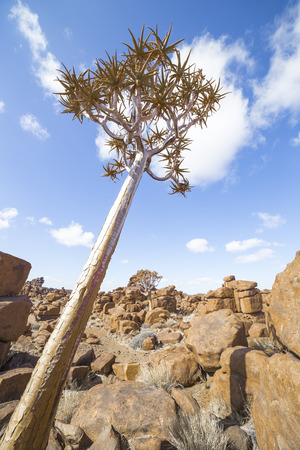 giants: The quiver tree, Aloe dichotoma or, in the Giants Playground, a bizarre natural rock garden near Keetmashoop, Namibia