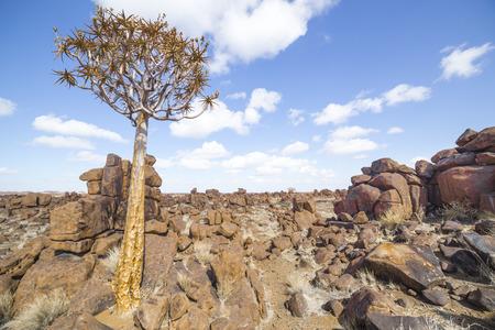 dichotoma: The quiver tree, Aloe dichotoma or, in the Giants Playground, a bizarre natural rock garden near Keetmashoop, Namibia