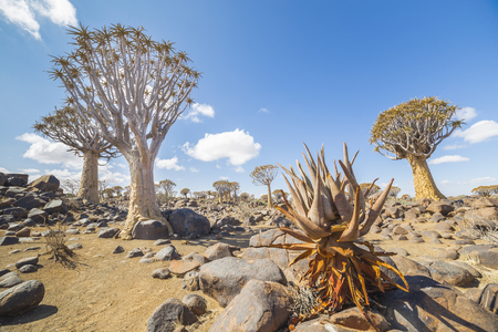 dichotoma: In the foreground  the Aloe khamiesensis. In the background the quiver tree, or aloe dichotoma, or Kokerboom, one of the most interesting and characteristic plants of Namibia Stock Photo