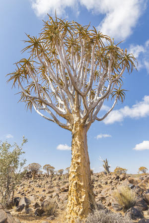 dichotoma: The quiver tree, or aloe dichotoma, or Kokerboom, one of the most interesting and characteristic plants of the very hot and dry parts of Namibia Stock Photo