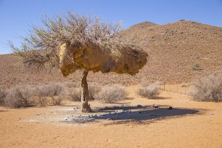 sociable: Tree in Tirasberge, Namibia with the nests of the sociable weaver, a bird that build large compound community nests, a rarity among birds. These nests are perhaps the most spectacular structure built by any bird.