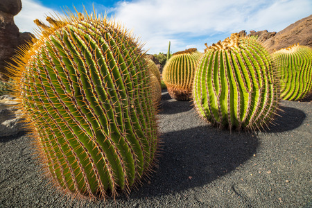 Echinocactus Platyacanthus in Jardin de Cactus of Lanzarote, Canary Islands, in Spain Stok Fotoğraf