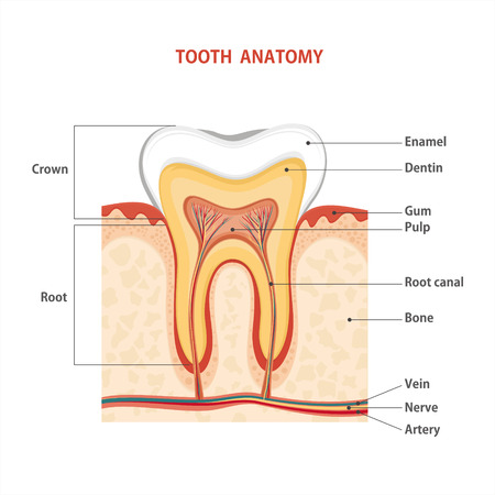 inflammatory: Tooth medical anatomy. illustration