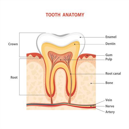 Tooth medical anatomy. illustration