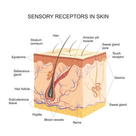 Sinnesrezeptoren in der Haut Vektorgrafik