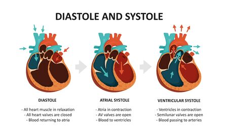 Diastole And Systole. Cardiac cycle