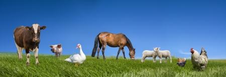 vaca: Recogida de animales de granja