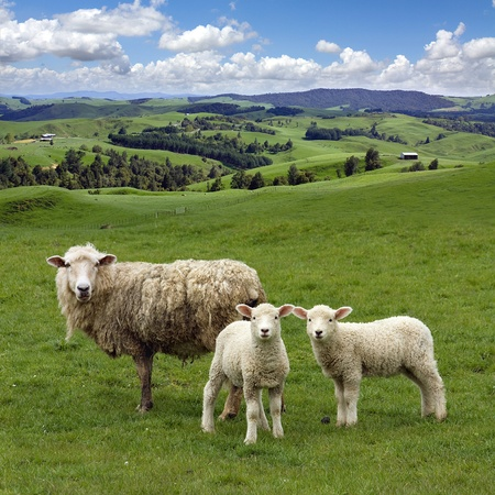 new look: Sheep and wo lambs grazing on the picturesque landscape background