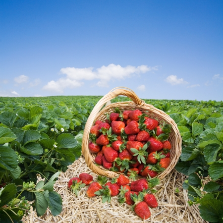 strawberry baskets: Strawberries in the basket on strawberry field Stock Photo