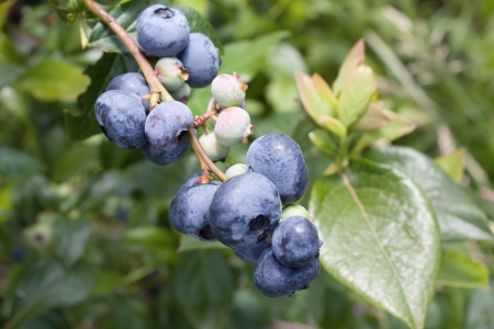 differential focus: Blueberries on the brunch Stock Photo