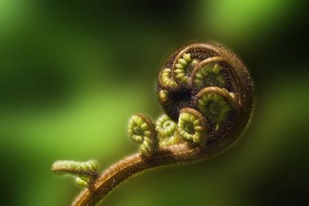new beginning: New Zealand fern  koru  unfurling on the green blurred background Stock Photo